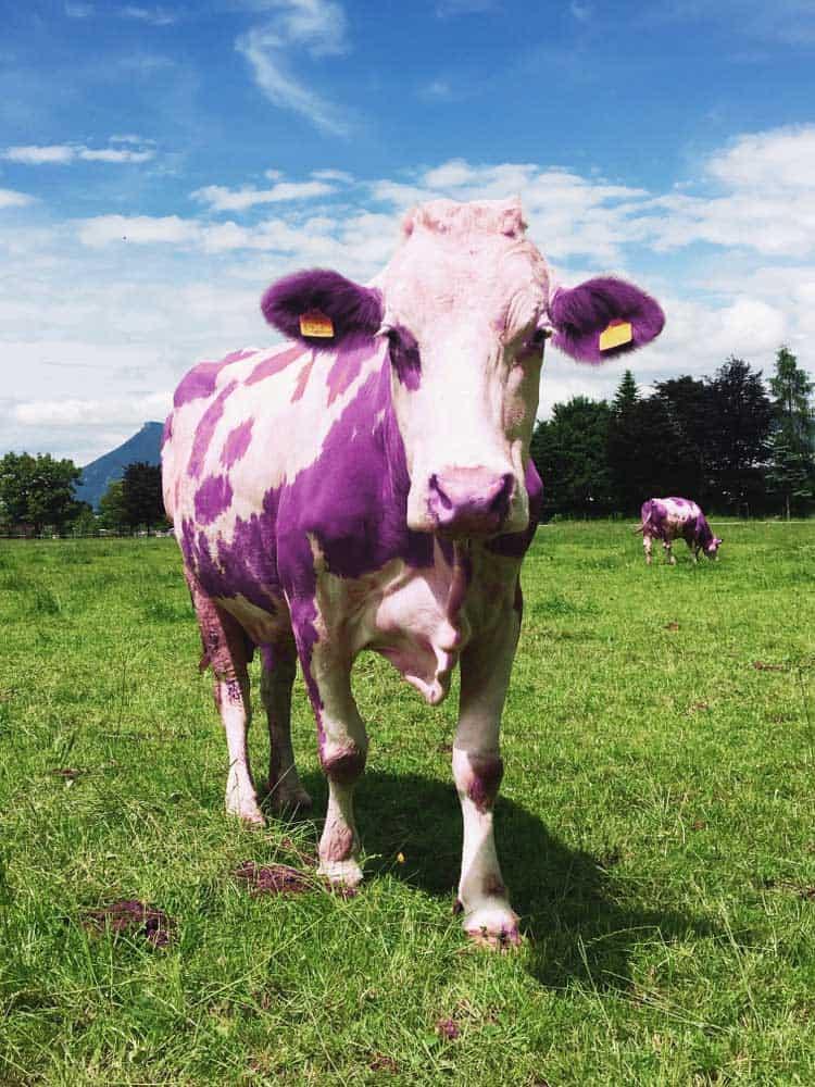 Purple Cow on a field